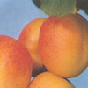 Click for Fruit_and_Nuts/Apricot