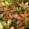 Click for Natives/Coprosma