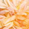 Click for Roses/Climbing_-_Rambler