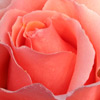 Click for Roses/Hybrid_Tea