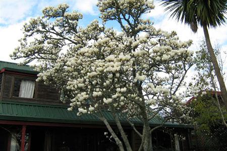 magnolia tree. Magnolias need space to grow