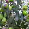 Click for Fruit_and_Nuts/Olive