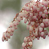 Click for Shrubs/Pieris