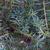 Click for Natives/Podocarpus