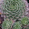 Click for Perennials/Succulents