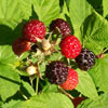 Click for Fruit_and_Nuts/Berries_and_Brambles