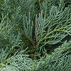 Click for Trees_Evergreen/Conifer