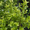 Picture of Pittosporum Mountain Green