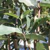 Picture of Eucalyptus Ficifolia