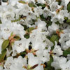 Picture of Rhododendron Snow Lady