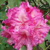 Picture of Rhododendron Dr Arnold W Endtz