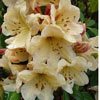 Picture of Rhododendron Double Eagle