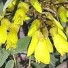 Picture of Sophora Sun King