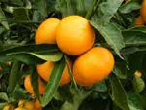 Picture of Mandarin Thorny
