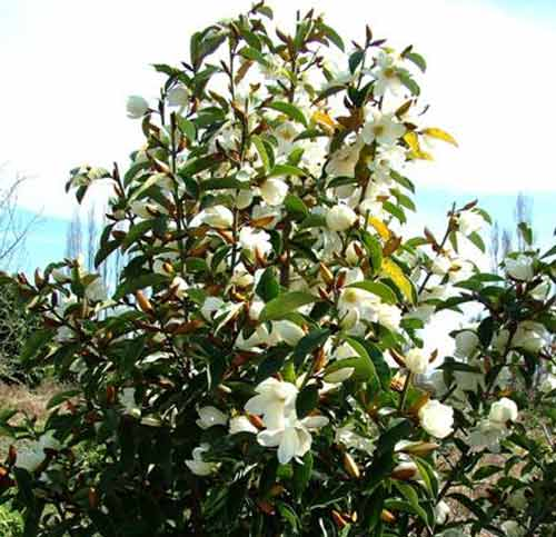Picture of Michelia Lemon Fragrant