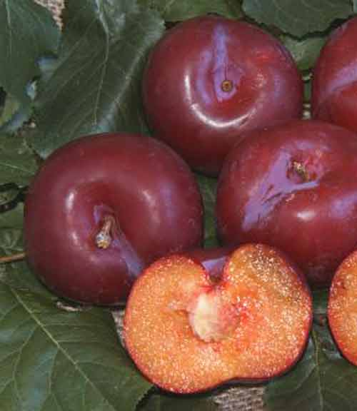 Picture of Plum Duffs Early Jewel