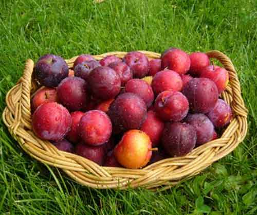 Picture of Plum Freedom