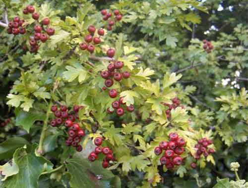 Picture of Crataegus Rosea Flore Pleno
