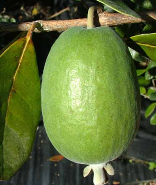 Picture of Feijoa Unique