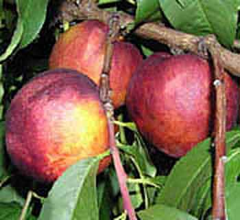 Picture of Peacherine Healeys
