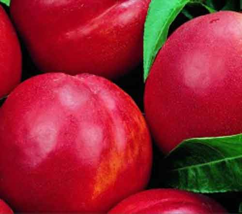 Picture of Nectarine Dble Redgold/ Firebrite