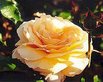 Picture of Nobilos Chardonnay-Rose