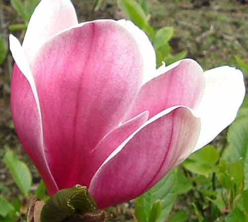 Picture of Magnolia Touch of Class