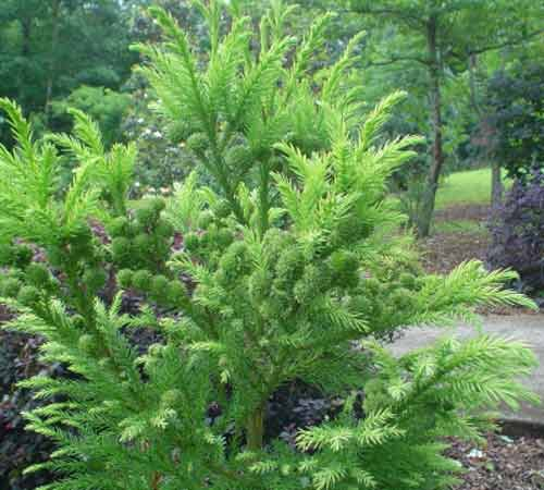 Picture of Cryptomeria Japonica