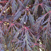 Picture of Acer Crimson Queen