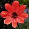 Picture of Dahlia Mystic Enchantment