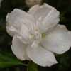 Picture of Hibiscus Jeanne D'arc