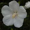Picture of Hibiscus Snowdrift