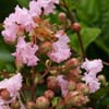 Picture of Lagerstroemia Soire D'Ete