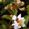 Picture of Lagerstroemia Petite Snow