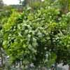 Picture of Robinia Lace Lady H/W 1m Std