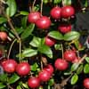 Picture of Myrtus Ugni