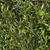 Picture of Corokia Cheesemanii