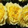 Picture of Golden Jubilee-Rose