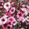 Picture of Leptospermum Sunraysia