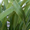 Picture of Phormium Emerald Gem