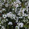 Picture of Thryptomene Super Nova