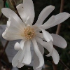 Picture of Magnolia Stellata Waterlily