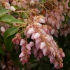 Picture of Pieris Christmas Cheer
