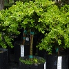 Picture of Buxus Green Gem Std