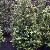 Picture of Buxus Macrophylla Cones