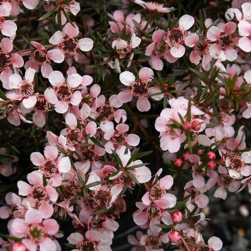 Picture of Leptospermum Pink Beauty