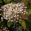 Picture of Viburnum Japonicum
