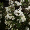 Picture of Spiraea Prunifolia
