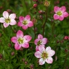 Picture of Saxifraga Starblush