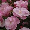 Picture of Precious Pet-Rose